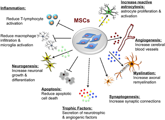 Mesenchymal Stem Cells Repair Brain Damage