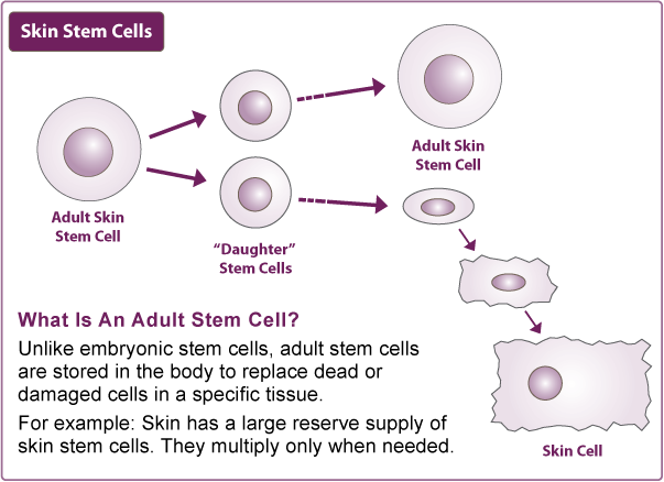 stem cells tobe or not to These stem cells are said to be pluripotent, which means they can  they can  only change into some cells in the body, not any cell, for example.